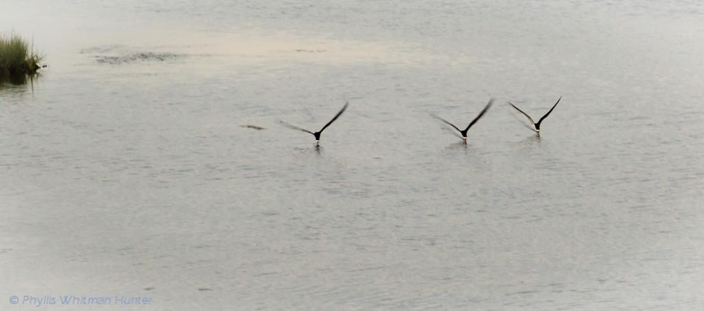 Black Skimmers Skimming