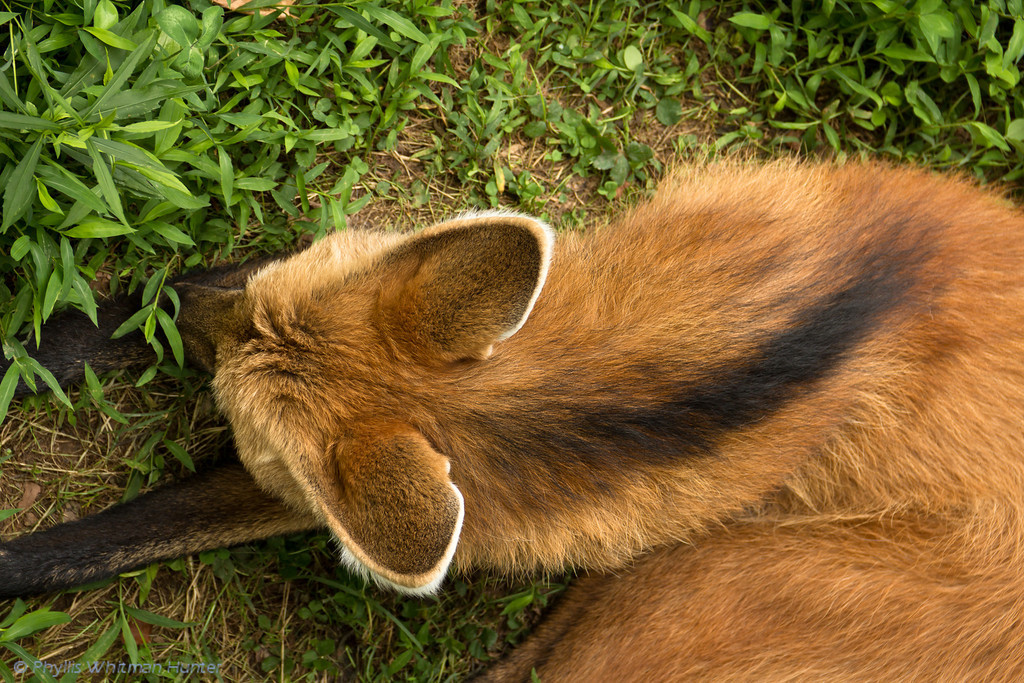 A Maned Wolf Napping